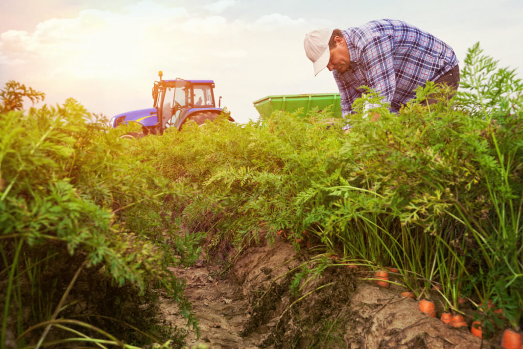man in carrot crop field with tractor in background