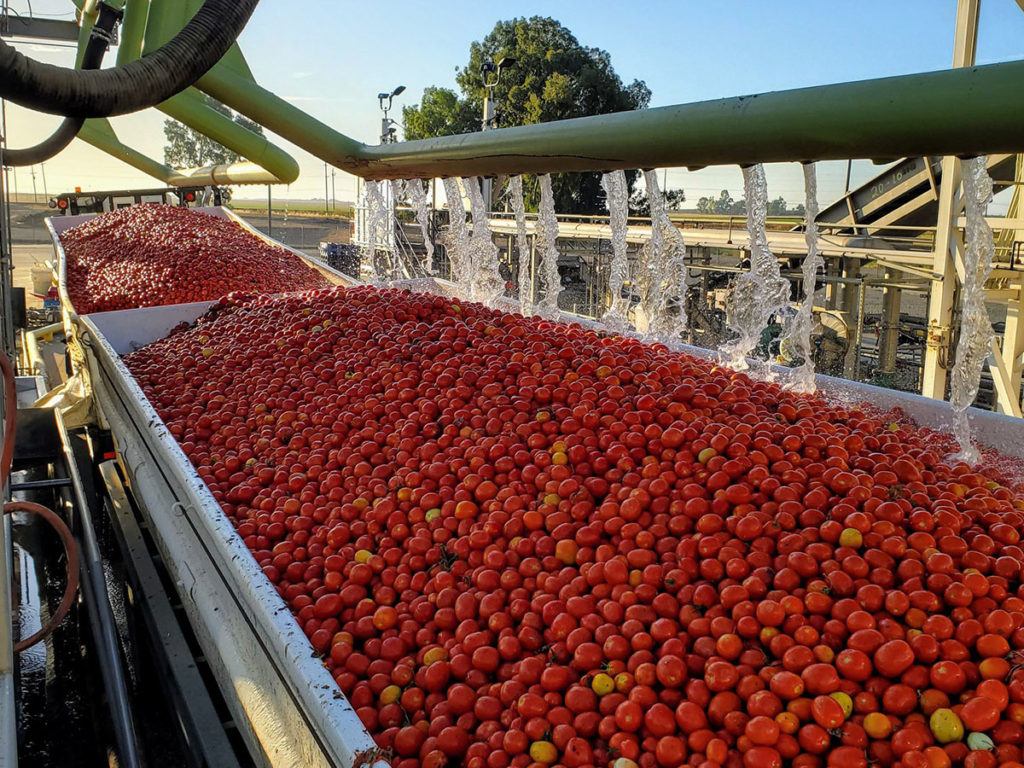 Tomatoes arriving to process